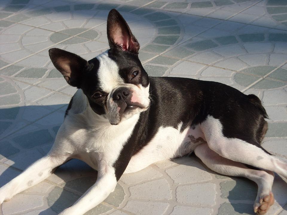 Tailless Boston Terrier