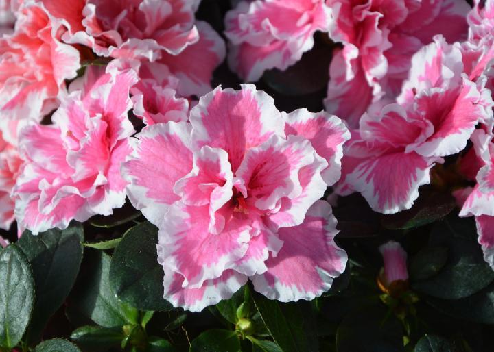 azalea-flowers 2