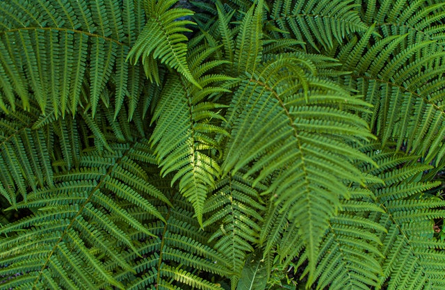 green boston fern