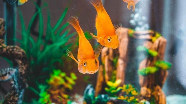 goldfish water type