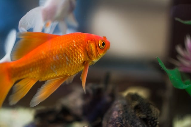 orange gold fish