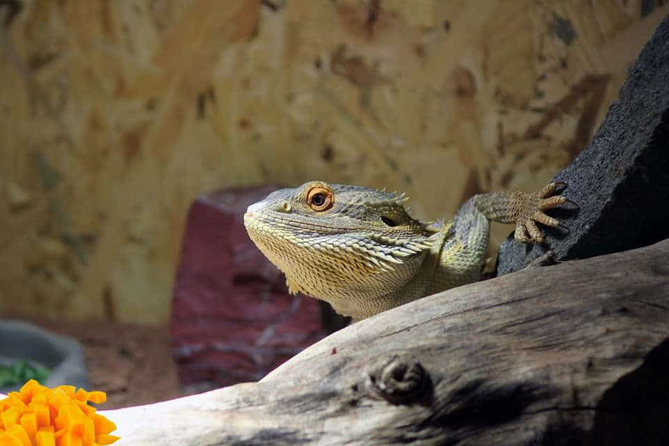 bearded dragon and mango