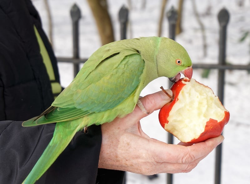 parrot eating apple