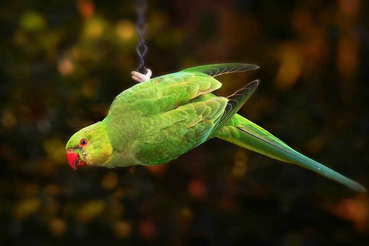 ring necked parakeet on chain