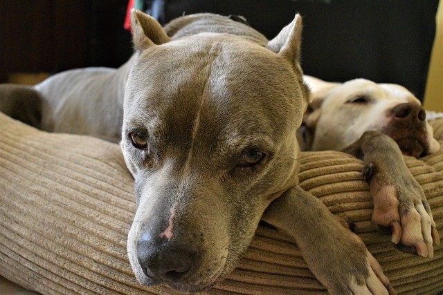 pit bull lying on couch