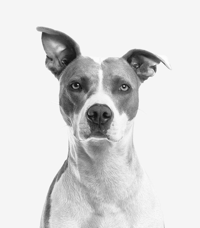 white and grey dog