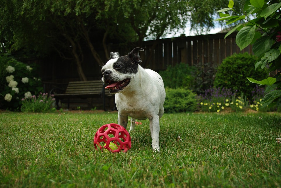 boston terrier play