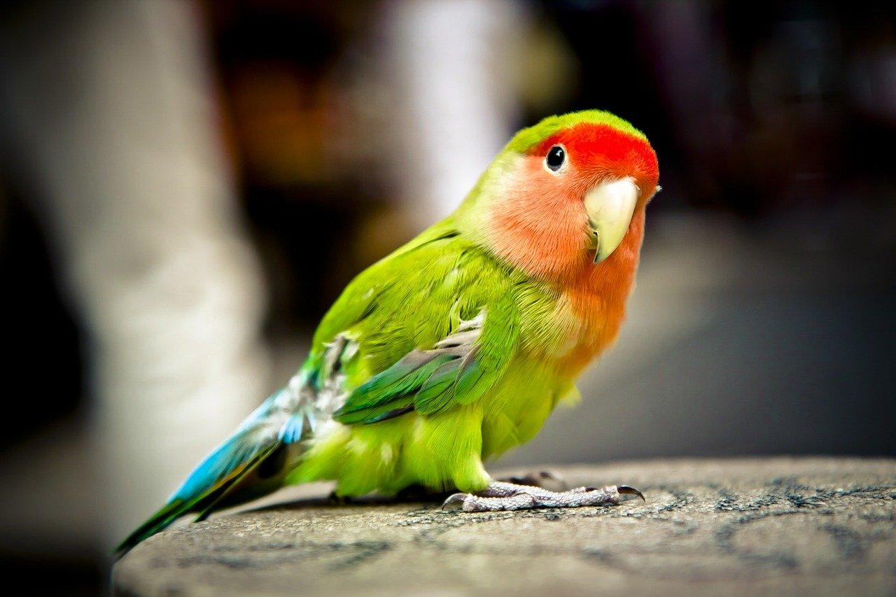 parrot-62