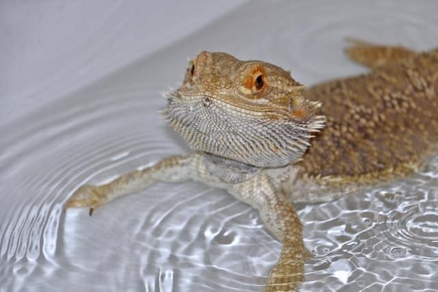 bearded dragon in bath