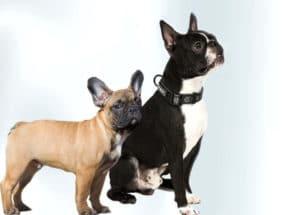 The difference between a Boston Terrier and a French Bulldog