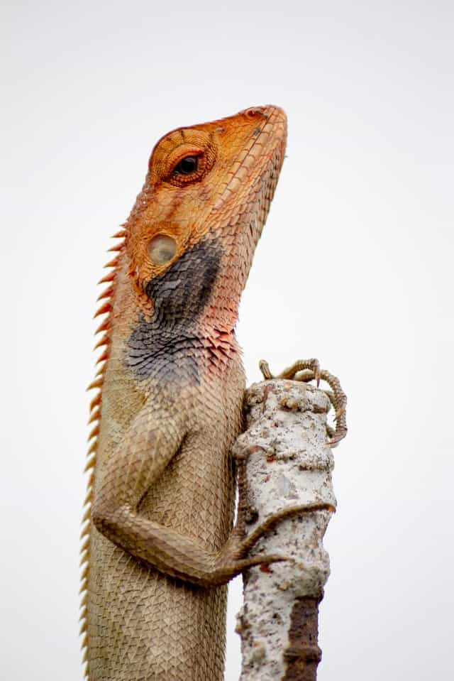 brown and beige bearded dragon