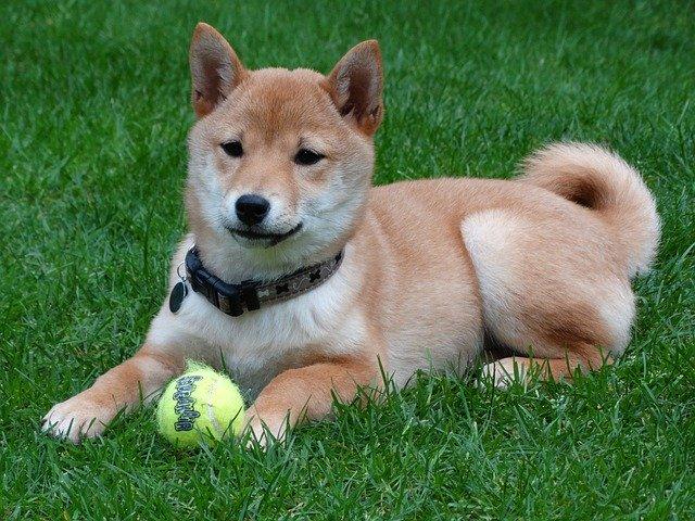 shiba inu with ball