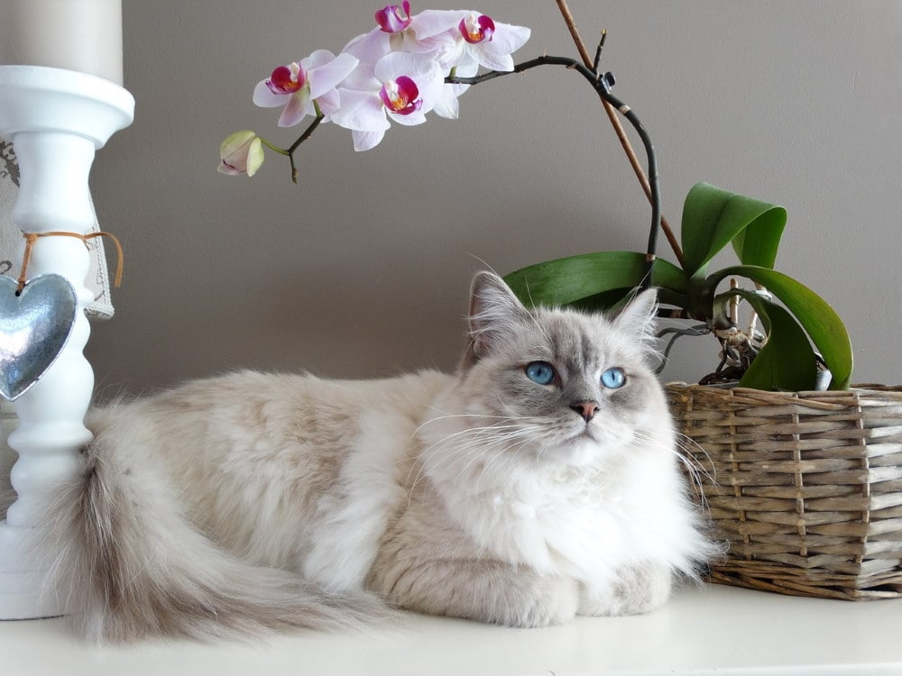 Ragdoll cat with blue eye
