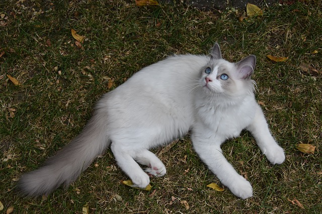 ragdoll lying on the grass