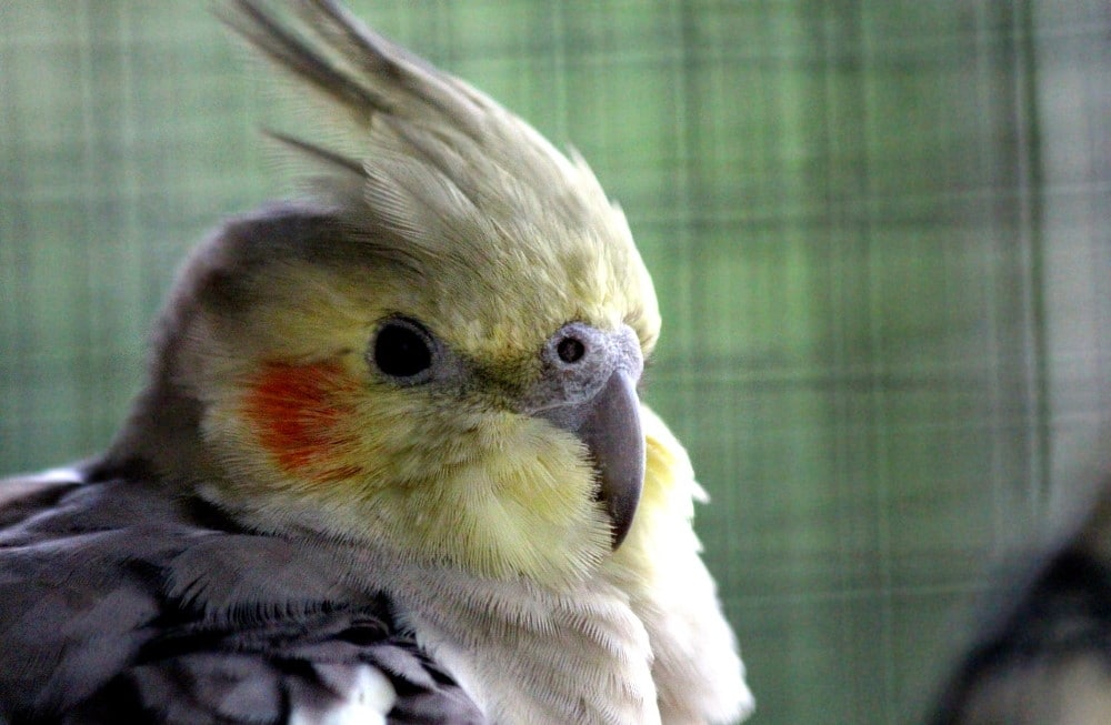 Nymph parrot