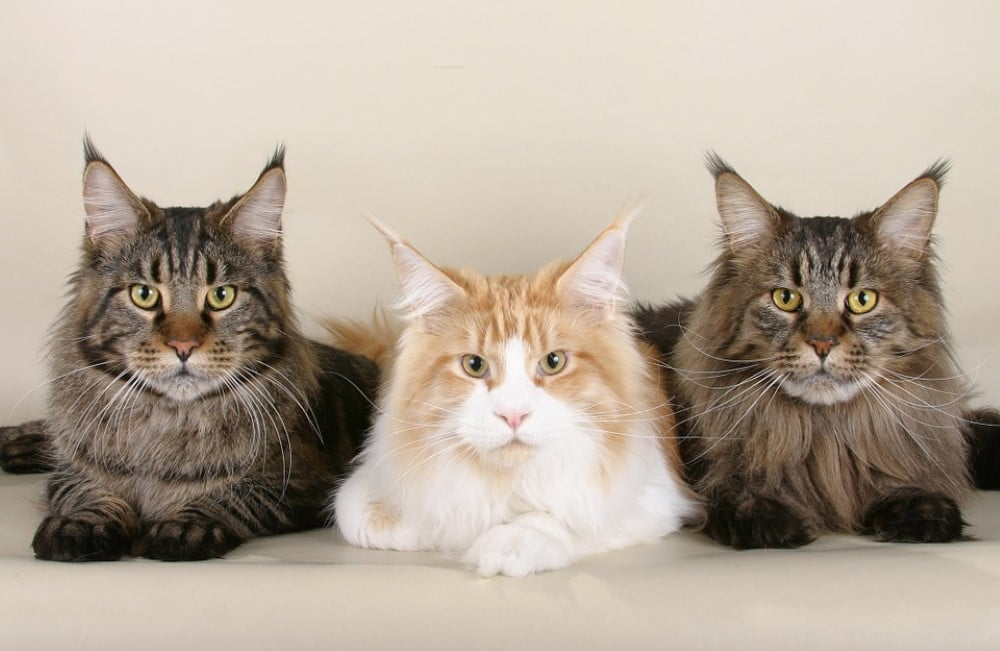 Gentle giants, Maine Coons