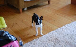 boston terrier house training