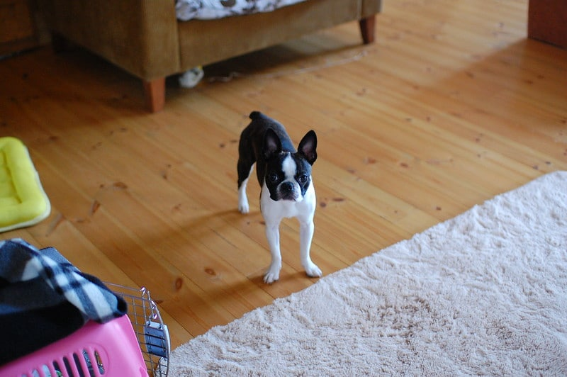 boston terrier house training