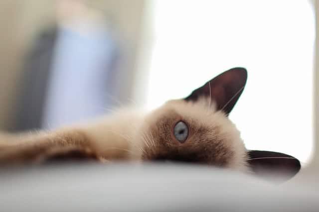 siamese cat lying down