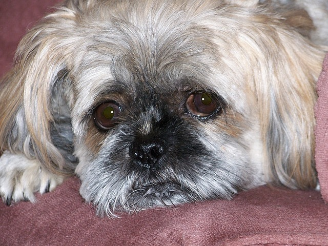 Shih Tzu health problems