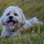 Shih Tzu lifespan