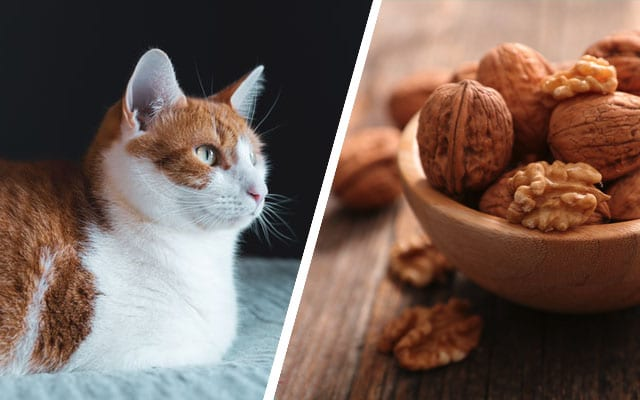 can cats eat walnuts