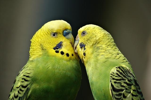 mating parakeets