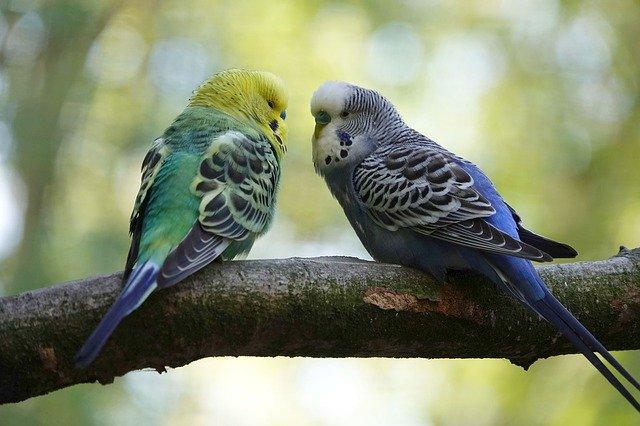 pregnant parakeet