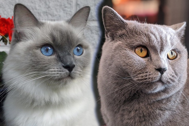 Ragdoll with British Shorthair