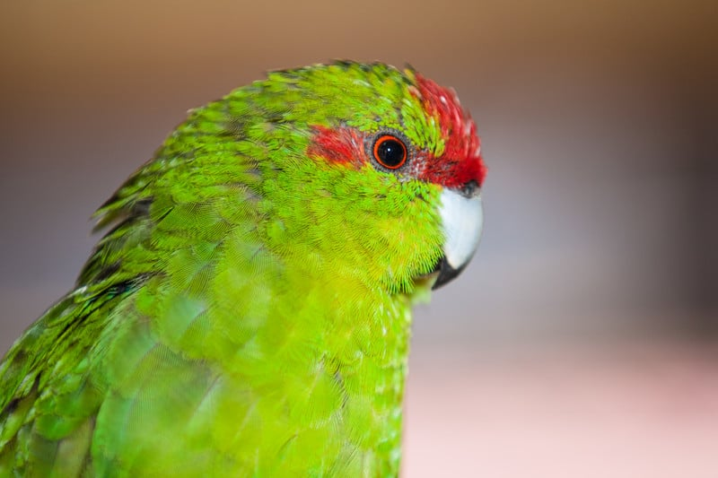 Red Fronted Parrot