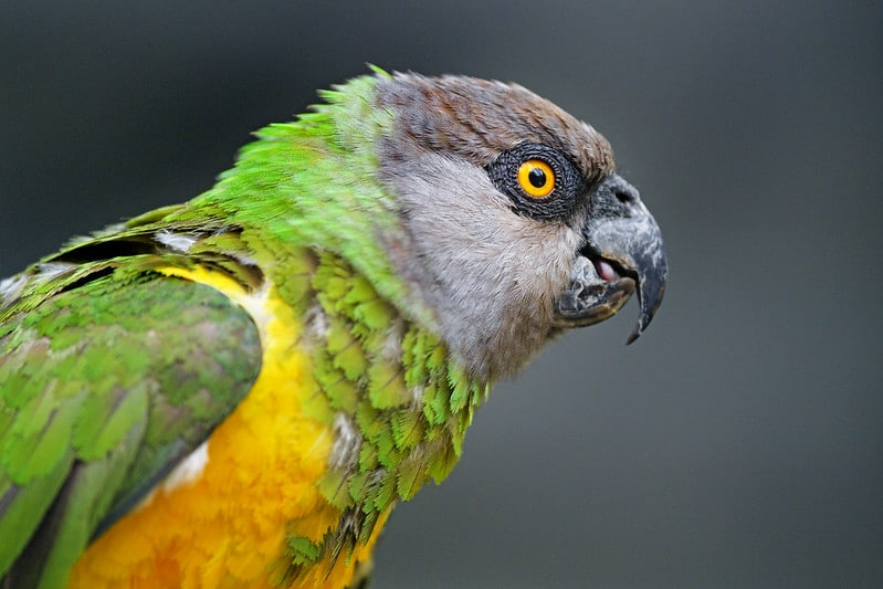 Senegal Parrot