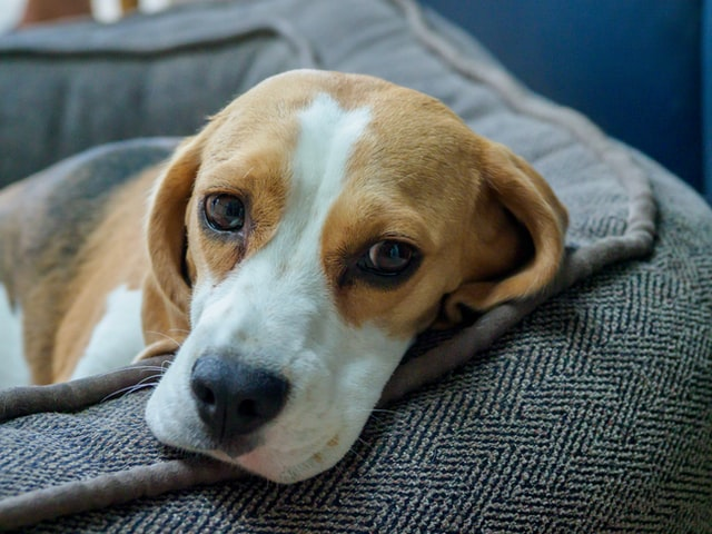beagle with fever