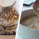can cats eat cereal